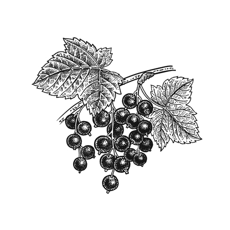 Illustration pour Black currant berries. Realistic vector illustration plant. Hand drawing. Fruit, leaf, branch isolated on white background. - image libre de droit