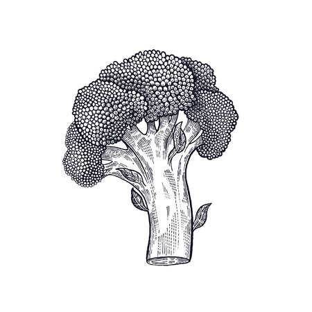 Illustration pour Broccoli. Hand drawing of vegetables. Vector art illustration. Isolated image of black ink on white background. - image libre de droit