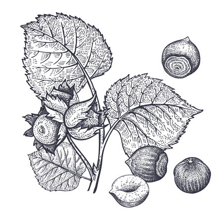 Illustration for Branch of hazel and hazelnuts nuts realistic isolated. Vector illustration of food. Vintage engraving art. Hand drawing plants. Black and white sketch. - Royalty Free Image