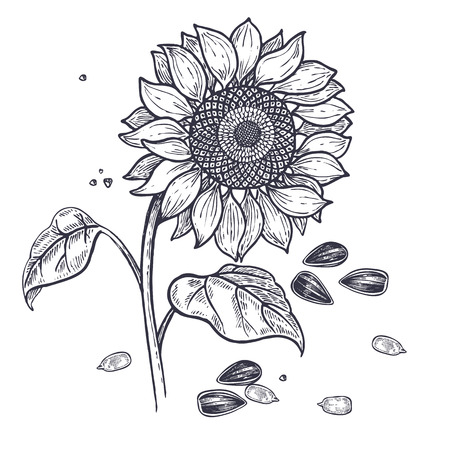 Illustration pour Sunflower and seeds realistic isolated. Vector illustration of food. Vintage engraving art. Hand drawing plants. Black and white sketch. - image libre de droit