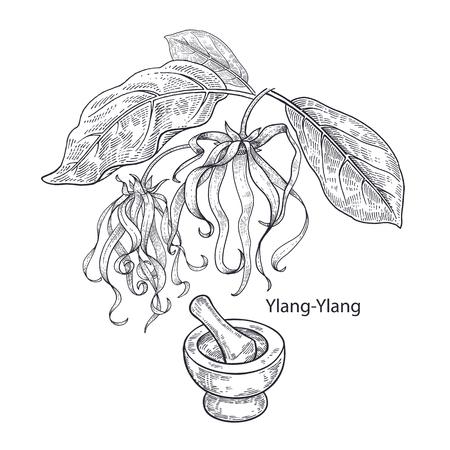 Illustration for Realistic medical plant Ylang-Ylang, mortar and pestle. Vintage engraving. Vector illustration art. Black and white. Hand drawn of flower. Alternative medicine series. - Royalty Free Image