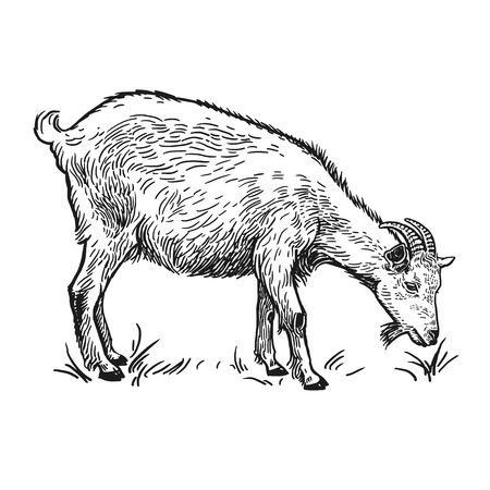 Ilustración de Farm animal. Goat. Isolated realistic image on white background. Handmade drawing. Vintage sketch. Vector illustration art. Black and white. Design for agricultural products, farm stores, markets - Imagen libre de derechos