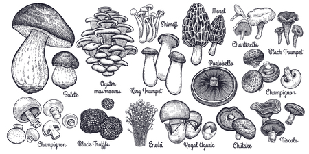 Illustration pour Mushrooms. Bolete, Morel, Truffle, Agaric, Shimeji, Champignon, Chanterelle, Black and King Trumpet, Oyster mushrooms, Porcini, Niscalo, Portobello, white button isolated. Vintage. Vector illustration - image libre de droit
