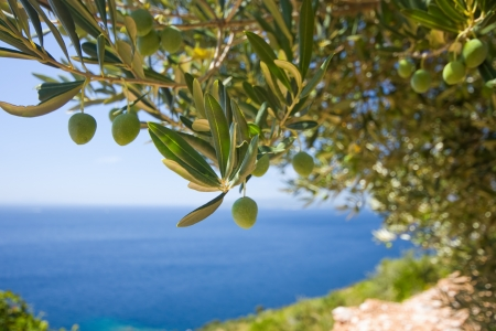 Photo for a olive tree on the sea background - Royalty Free Image