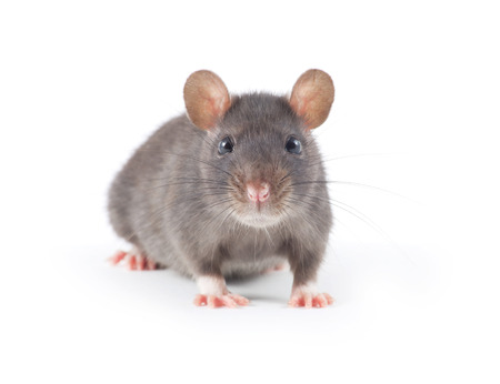 Photo for funny rat close-up isolated on white background - Royalty Free Image