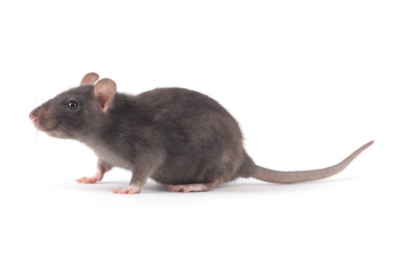Photo for rat close-up isolated on white background - Royalty Free Image
