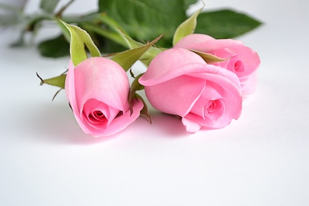Three pink roses on white background