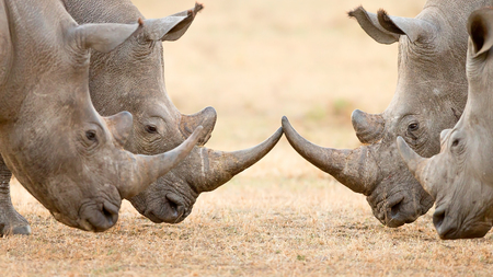 Photo pour Four White Rhinoceros bulls (Ceratotherium Simum) locking horns and interacting in the Kruger National Park (South Africa) - image libre de droit
