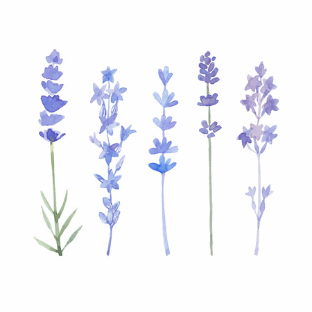 Ilustración de Watercolor lavender set. Lavender flowers isolated on white background. Vector illustration. - Imagen libre de derechos