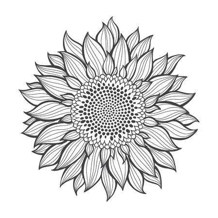 Illustration pour Sunflowers isolated on white background. Botanical vector illustration. Contour drawing. - image libre de droit
