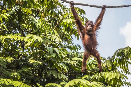 Foto de Orangutan in the jungle of Borneo Indonesia. - Imagen libre de derechos
