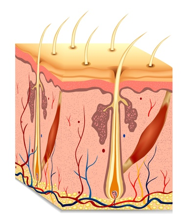 Illustration for Human hair structure anatomy illustration  - Royalty Free Image