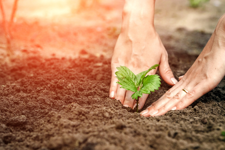 Foto de Women's hands put a sprout in the soil, close-up, Concept of gardening, gardening. copy space - Imagen libre de derechos