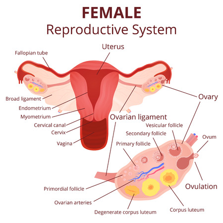 Illustration pour female reproductive system, the uterus and ovaries scheme, the phase of the menstrual cycle - image libre de droit