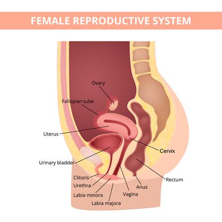 Illustration pour reproductive system - image libre de droit