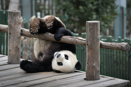Photo for Little Panda is played near the wooden fence - Royalty Free Image