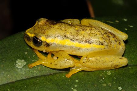 Foto de Heterixalus betsileo is a species of frogs in the Hyperoliidae family endemic to Madagascar. - Imagen libre de derechos