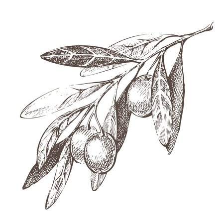 Illustration pour Hand drawn olive branch over white background - image libre de droit