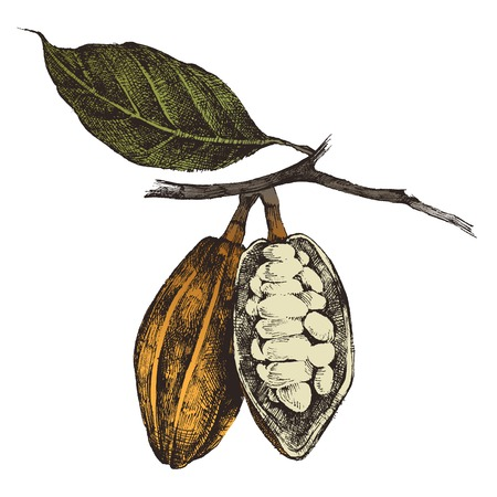 Ilustración de hand drawn cocoa beans in vintage style - Imagen libre de derechos