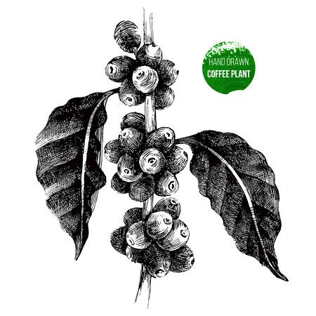 Ilustración de hand drawn coffee tree branch in vintage style - Imagen libre de derechos