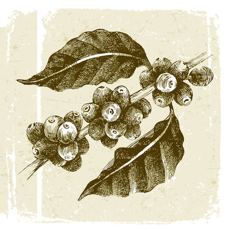 Illustration for hand drawn coffee tree branch in vintage style - Royalty Free Image