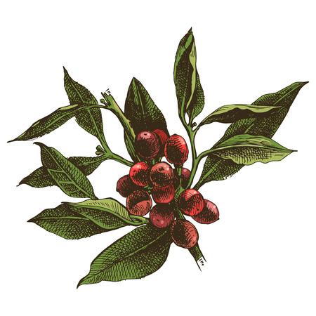 Ilustración de Hand drawn coffee tree branch - Imagen libre de derechos