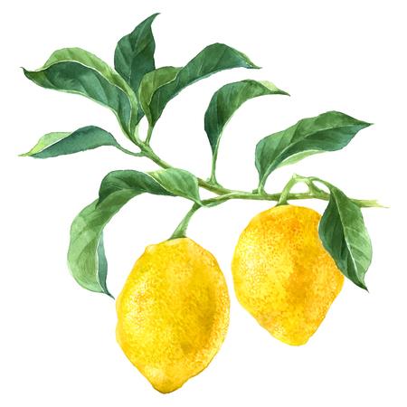 Ilustración de Watercolor lemon tree branch - Imagen libre de derechos