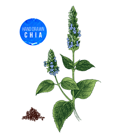Illustration for Chia plant and seeds - Royalty Free Image