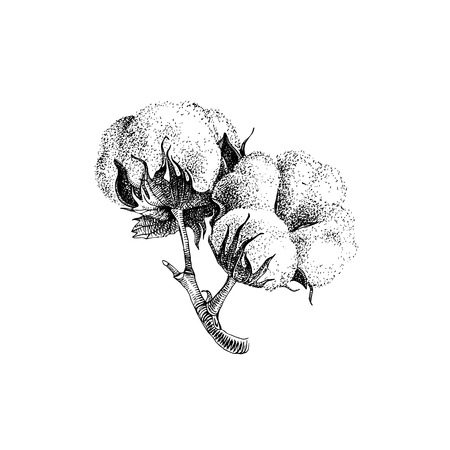 Illustration for Hand drawn cotton plant - Royalty Free Image
