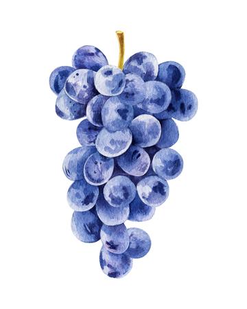 Illustrazione per Bunch of black grapes - Immagini Royalty Free