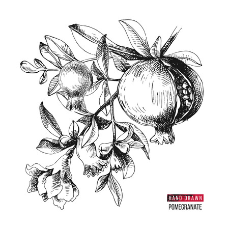 Illustration pour Hand drawn pomegranate branch with flowers and fruits. Vector illustration - image libre de droit