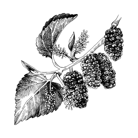 Illustration pour Hand drawn mulberry branch with flowers and ripe berries. Vector illustration - image libre de droit