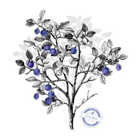 Ilustración de Hand drawn bilberry bush wih flowers and ripe berries. Vector illustratration - Imagen libre de derechos