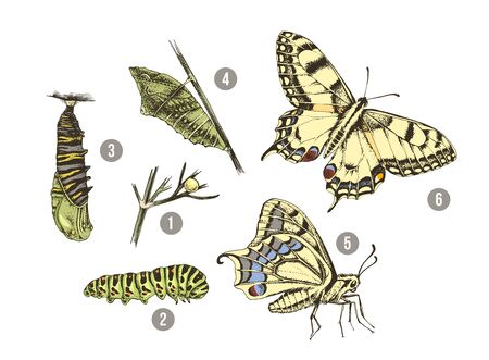 Illustration for Metamorphosis of the Swallowtail - Papilio machaon - butterfly - Royalty Free Image