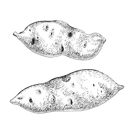 Ilustración de Hand drawn sweet potato isolated on the white - Imagen libre de derechos