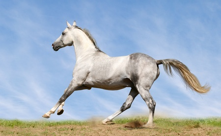 Photo pour silver-white stallion galloping on field - image libre de droit