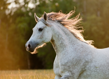 Photo for arabian horse - Royalty Free Image