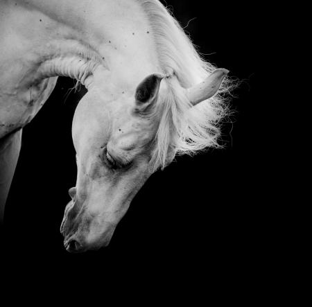 Photo pour white horse on a black - image libre de droit