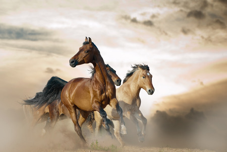 Photo pour Beautiful horses of different breeds running in dust on sunset - image libre de droit