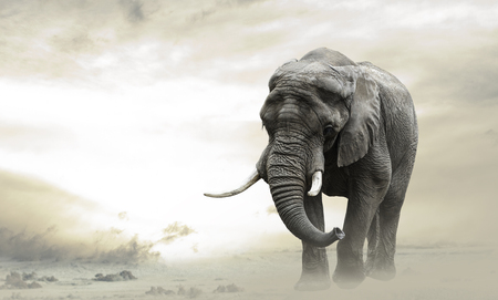 Foto de African elephant male walking alone in desert at sunset - Imagen libre de derechos