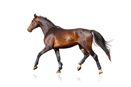 Photo pour Trotting horse in horse shoes isolated over a white background - image libre de droit