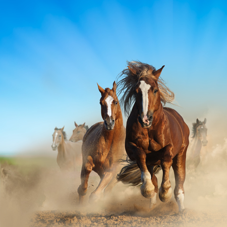Photo pour Two wild chestnut horses running together in dust, front view - image libre de droit