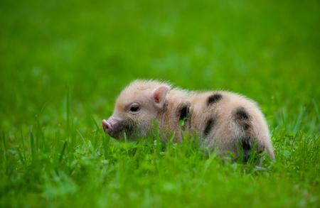 Cute little piglet of minipig in grass