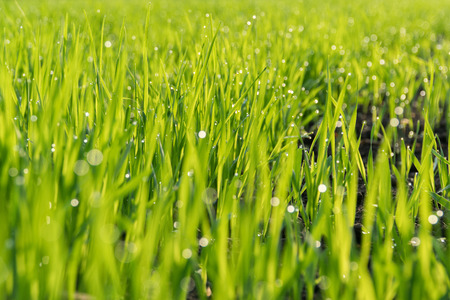 Photo for Morning dew on the green shoots of oats. - Royalty Free Image