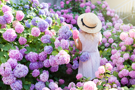 Photo pour Little girl is in bushes of hydrangea flowers in sunset garden. Flowers are pink, blue, lilac, lavender and blooming in town streets. Kid is in pink dress, straw hat. Concept of childhood, tenderness. - image libre de droit