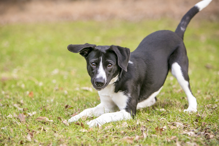 Foto de A playful black and white mixed breed dog, in a play bow position - Imagen libre de derechos