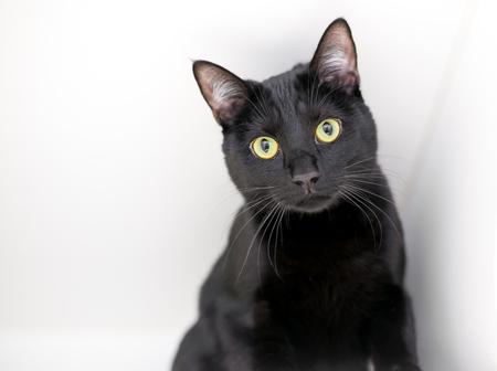 Photo pour A black domestic shorthair cat with yellow eyes on a white background - image libre de droit