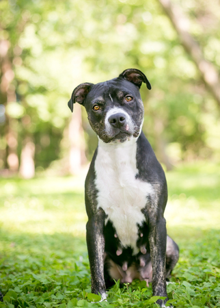 Photo pour A black and white female Pit Bull Terrier mixed breed dog listening with a head tilt - image libre de droit