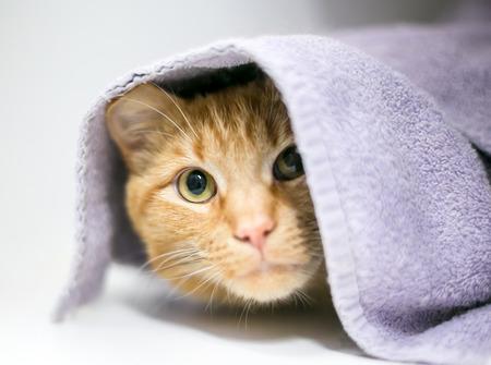 Foto de A shy orange tabby domestic shorthair cat peeking out from under a blanket - Imagen libre de derechos