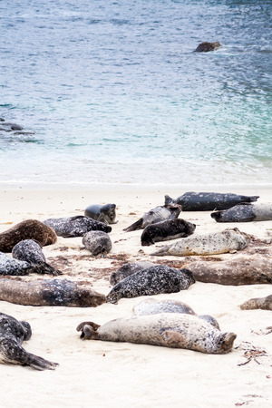 Photo for Harbor seals (Phoca vitulina) lounging at Casa Beach, also known as the Children's Pool, in La Jolla California - Royalty Free Image
